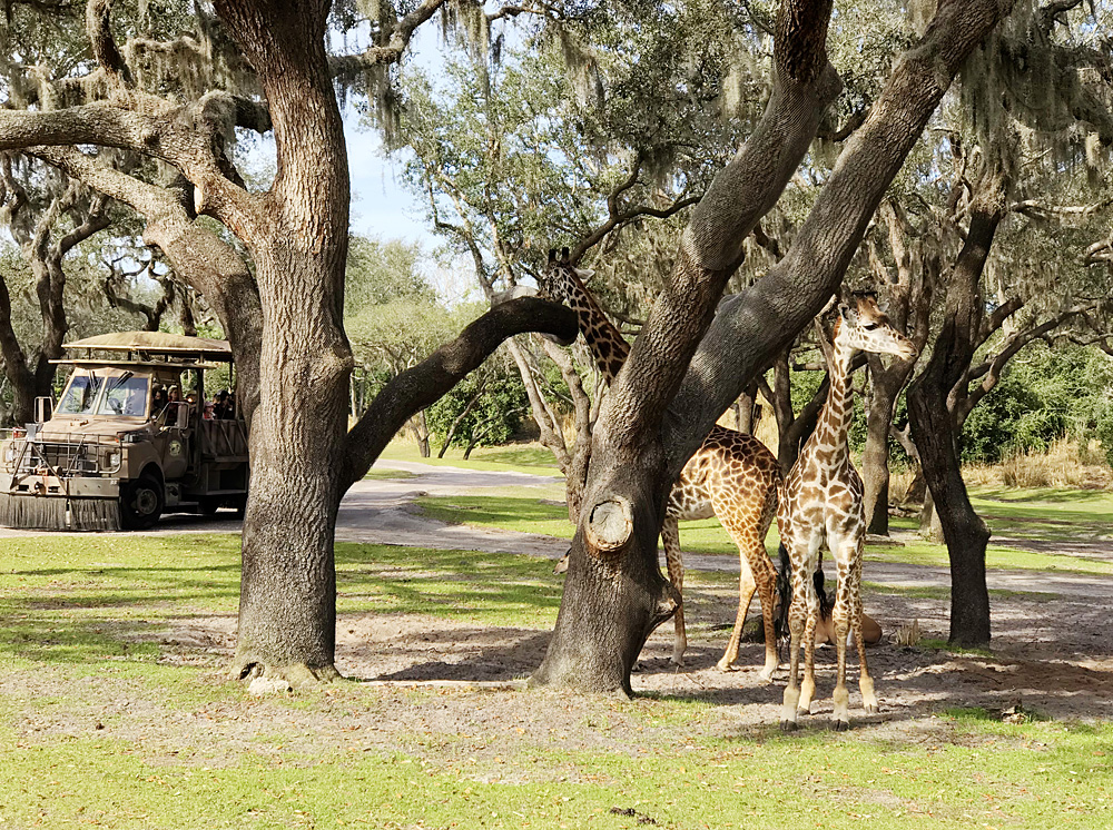 Animal Kingdom Safari giraffes